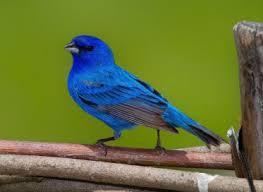 bird bluebird