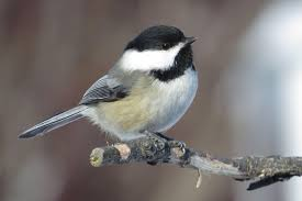 bird chickadee