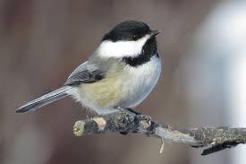 bird chickadee