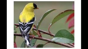 bird goldfinch
