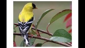 bird goldfinch