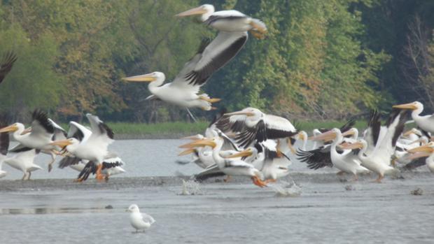 bird pelicans