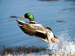 bird wood duck